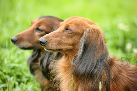 two Dachshund longhair photo