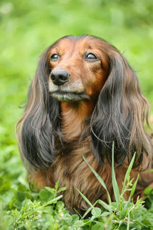 Miniature dachshund longhaired photo