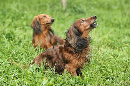 two Dachshund longhair photo