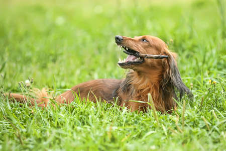 Miniature dachshund longhaired photo