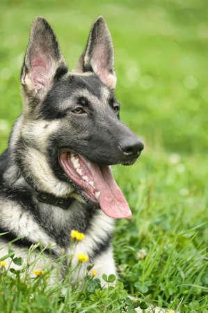 Beautiful German Shepherd Dog  outdoors Stock Photo - 14840130