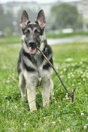 Beautiful German Shepherd Dog  outdoors Stock Photo - 14838512