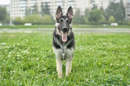 Beautiful German Shepherd Dog  outdoors photo