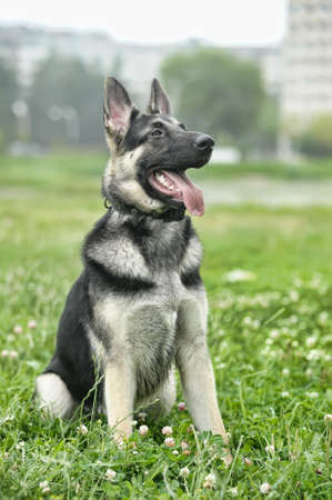 german shepherd on the grass: Beautiful German Shepherd Dog  outdoors