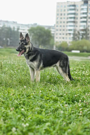 Beautiful German Shepherd Dog  outdoors photo