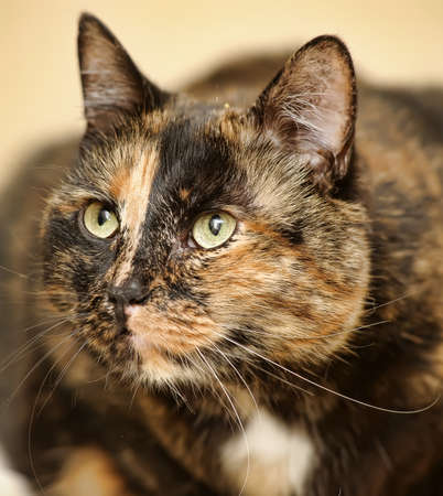 Tortoiseshell cat sits  photo
