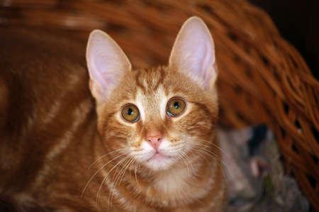 Ginger tabby cat photo