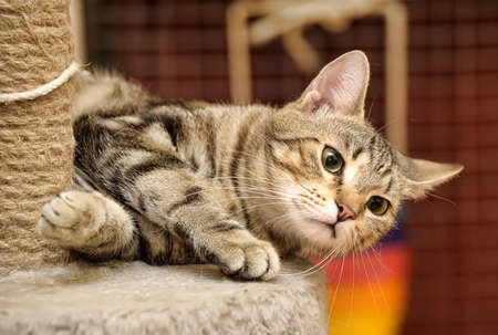 calico: cat scratching posts near Stock Photo