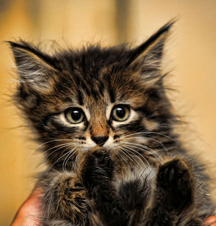 Fluffy tiger kitten photo