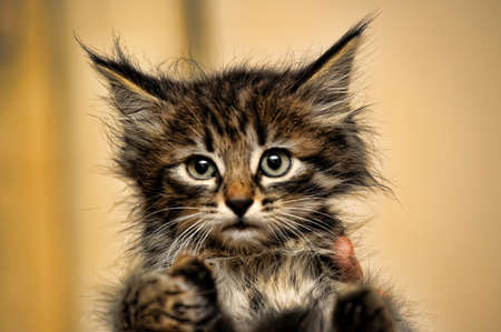 critter: Fluffy tiger kitten Stock Photo