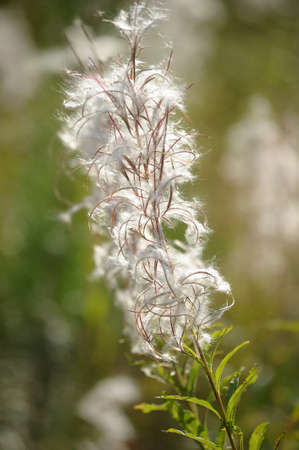 Willow-herb photo