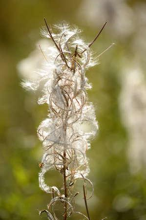 angustifolium: Willow-herb Stock Photo