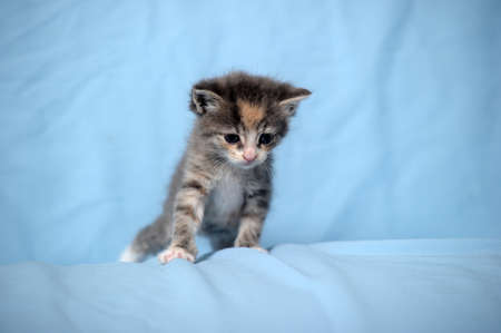 small funny kitten on blue background Stock Photo - 17996467