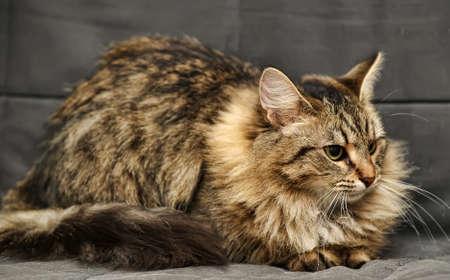 Siberian cat photo