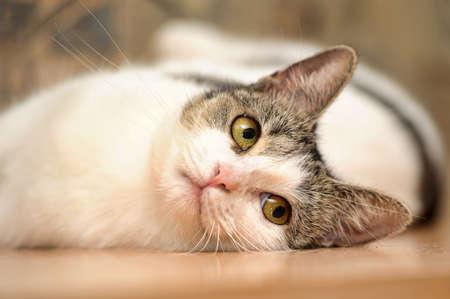 灰色の滑らかな猫と白 写真素材