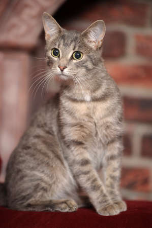 gray striped cat Stock Photo - 15038777