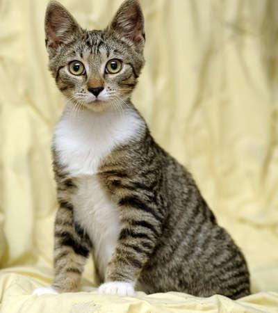gray cat: Tabby kitten