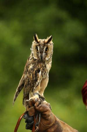 fluffy tuft: Owl  Stock Photo