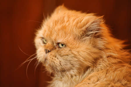 Red-haired Persian cat photo