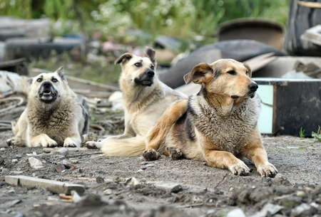 pack animal: pack of stray dogs Stock Photo