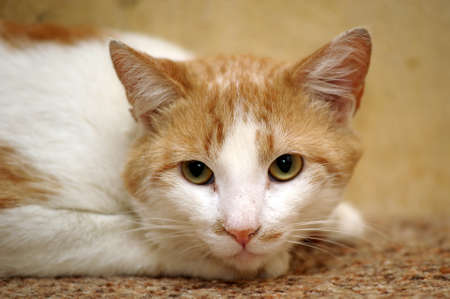 Red cat photo