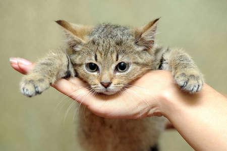 pet photography: Cute gray kitten