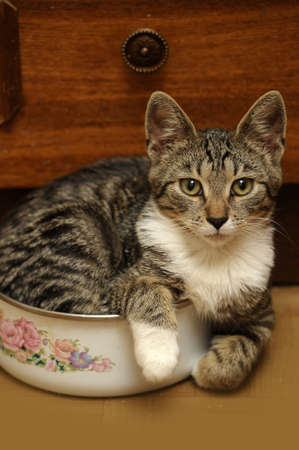tabby cat with a white breast Stock Photo - 15531299