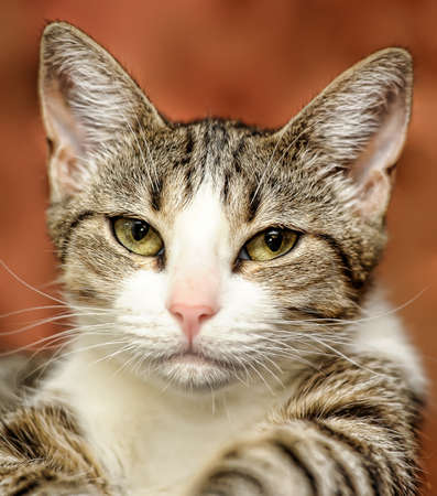 tabby cat with a white breast Stock Photo - 15531294