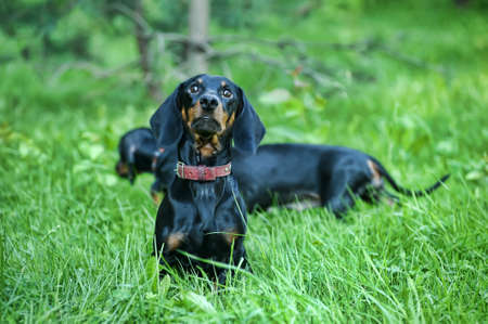 Dachshund  Stock Photo - 15176904