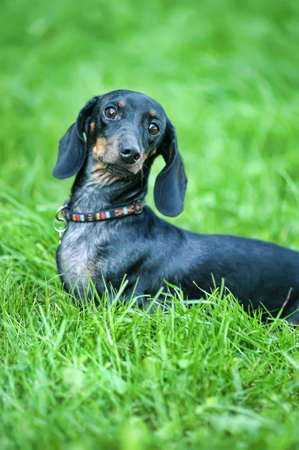 Dachshund  Stock Photo - 15176898
