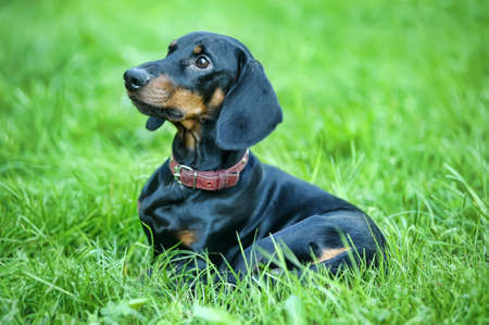 Dachshund  Stock Photo - 15176901