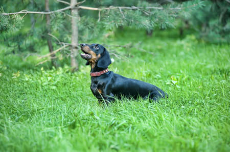 Dachshund  Stock Photo - 15176908