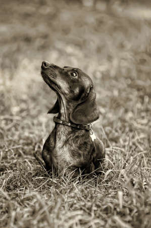 dachshund Stock Photo - 15225336