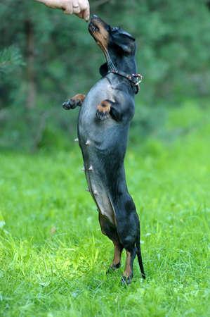 dachshund on hind legs Stock Photo - 15357781