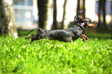 the runs: dachshund runs