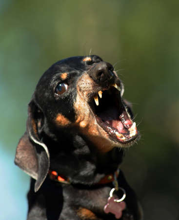 angry dachshund Stock Photo - 15489828