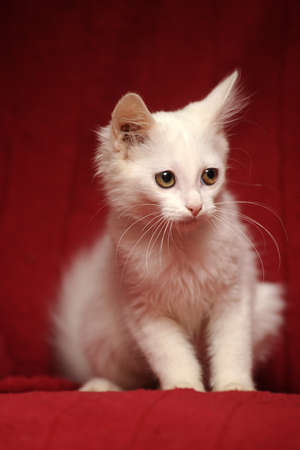 white kitten on a red background photo