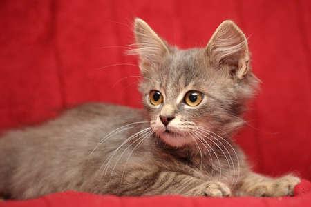 smoky kitten
