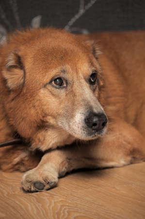 Beautiful alabai central Asian shepherd dog  photo
