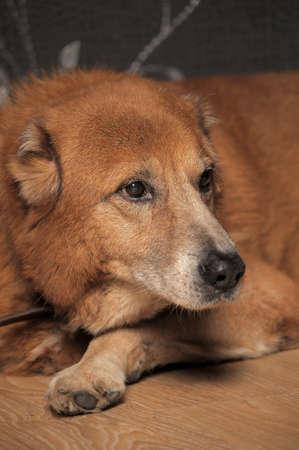 alabai: Beautiful alabai central Asian shepherd dog