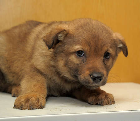 Brown puppy Stock Photo - 15151318
