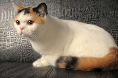 British three-colored cat photo