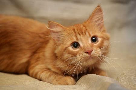 ginger hair: Whiskered cat