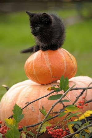 stared: black cat sitting on pumpkin