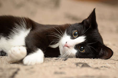 gato jugando: Retrato del gato blanco y negro en el sof� Foto de archivo
