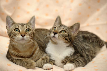 two striped cat close Stock Photo - 15359199