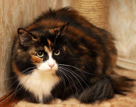 tricolor fluffy cat photo
