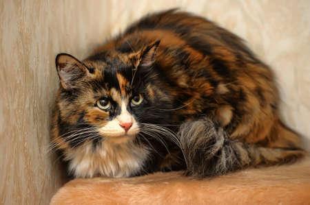 tricoloured: tricolor fluffy cat