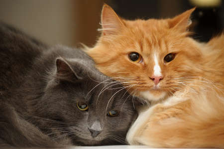 grey haired: Two domestic cats
