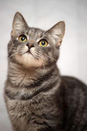 gray striped cat photo